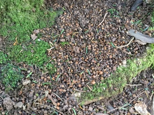 Collection of eaten yew berry seeds beneath a tree