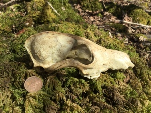 Badger skull - the lower jaw is missing
