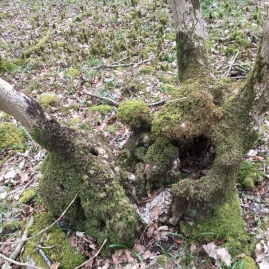 Uncared for coppice stools become old and knarled