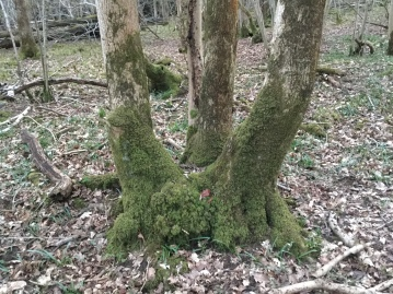 Thick trunks grow on coppice left uncared for