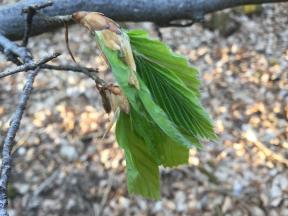 Beech leaves unfurl