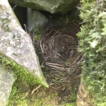 A robin is nesting in a hole in the dry stone wall.
