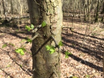 Hawthorne buds are bursting from their buds in the wood; such a marvellous shimmer of fresh green.