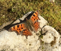 A lovely sight - the first comma of the year sunning itself in a woodland clearing.