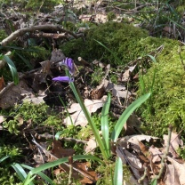 First bluebell!