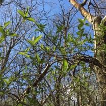 Blue sky through spring honeysuckle...