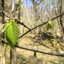 The elm leaves are opening like miniature fans; such a perfect spring green.
