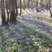 A bluebell sea.