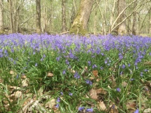 The bluebells are so beautiful in the wood at the moment - I've found it impossible to take a photograph that shows just how stunning they look, but I hope this picture gives a hint of it...