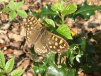 Ah - finally! A speckled wood, in our wood, on camera. They really don't do sitting still!