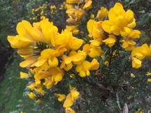 Such a beautiful bank holiday! The gorse is smelling magnificent in the warm sunshine. Happy Monday all.