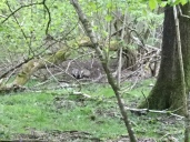 Sooo excited! FOUR cubs in our main sett! This picture is a bit hazy, but this is Mum and baby. Worth the nights of seeing nothing and getting soaked to see four fluffy badgers hurtling around play fighting for twenty minutes :)