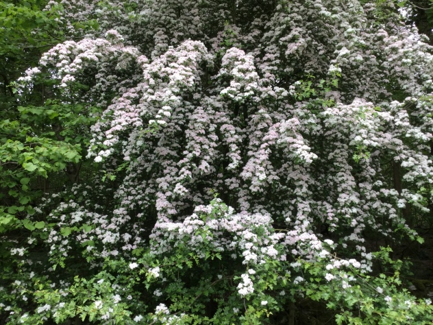Cascades of beautiful pink rimmed hawthorn blossom on the edge of the wood today.