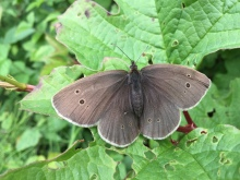 Day 25: Paused on my walk to photograph this ringlet, then shared it with the kind guy who stopped his bike to ask if I was lost and needed directions.