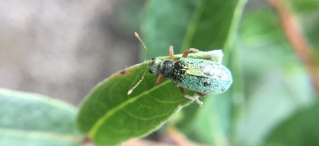 Absolutely gorgeous little green weevil popped up to say 'Hi' in the wood today…