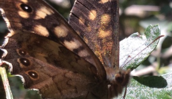 Sunlight catches the scales on the wing of this speckled wood butterfly… such ephemeral beauty.