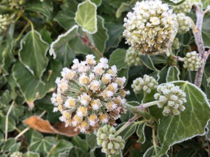 Frosty ivy flowers.