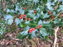 We seem to have a good berry crop in the wood this year - it's starting to look quite Christmassy!