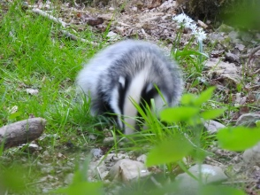 We have seven baby badgers at least this year - fabulous fluffy cannonballs!