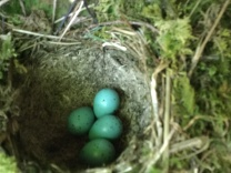 Song thrush nest.