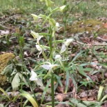 Greater butterfly orchid - this years star new find.
