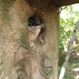 Just before fledging, this baby nuthatch surveys a likely flight path.