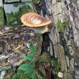 It's just beginning to move into the fungi season again, and here is a smart bracket fungus we found near the wall we are rebuilding.