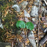 A new tree - but an intreguing one because this is the small leafed lime which has not been able to reproduce by seed in the UK for xxx, since the temperature last dropped after the last interglacial. This tiny tree is a significant distance from any parent plant. Is this evidence of global warming? Have temperatures risen enough that the small leaved lime can once again reproduce by seed??