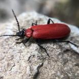 A beautiful black headed cardinal beetle.
