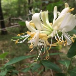 The honeysuckle has smelled lovely this year.